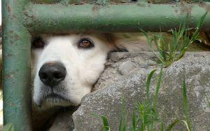 cachorro uivando 3