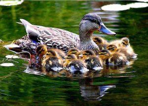 Patos na lagoa 4