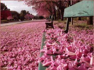 Ipê cor de rosa 6