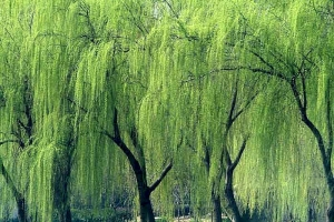 Árvore que chove 1B