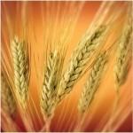Farinha de trigo - Mais Trigo
